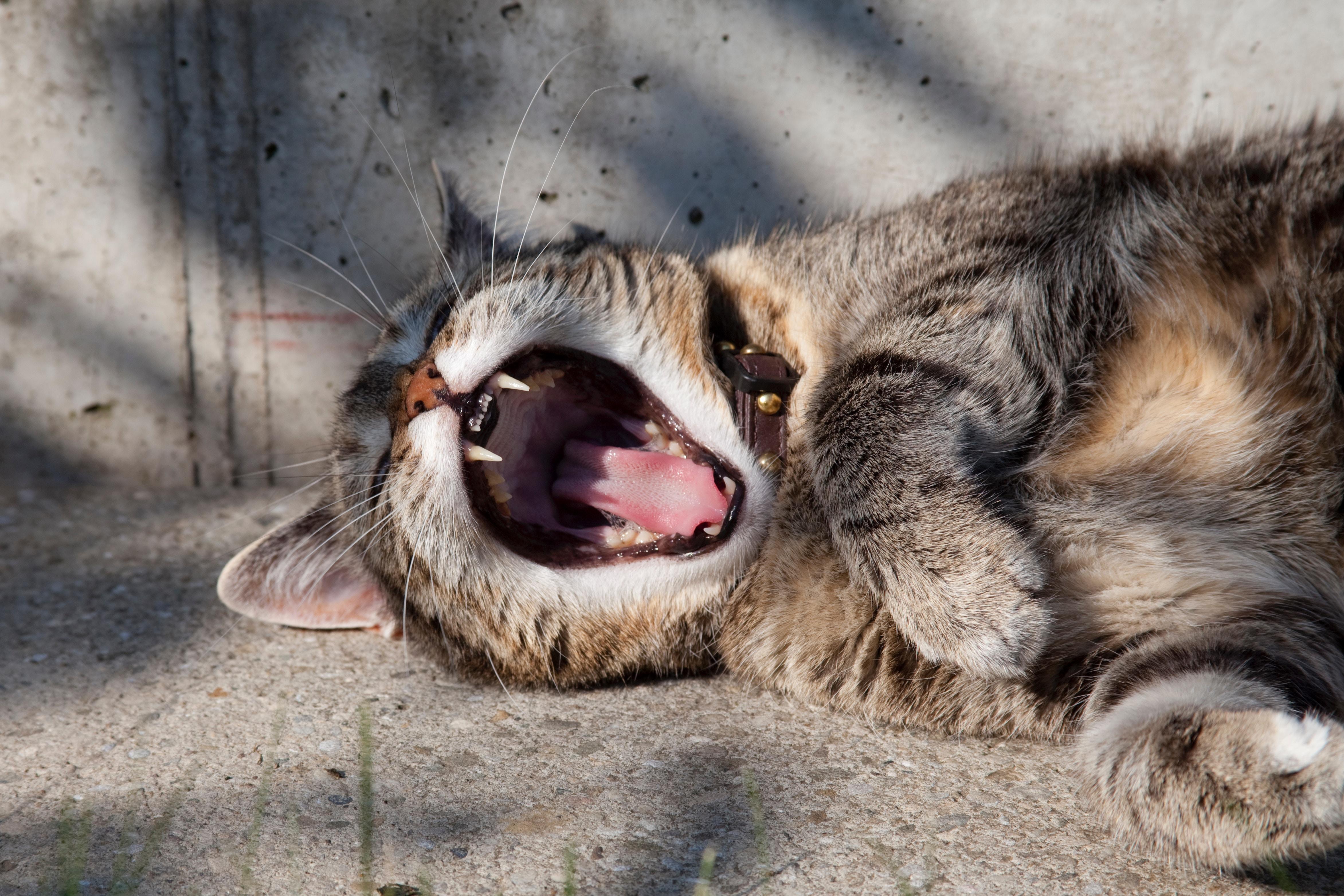 Kat stinkt uit zijn bek